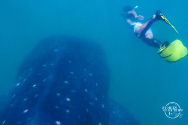 Whaleshark, Donsol, Philippines
